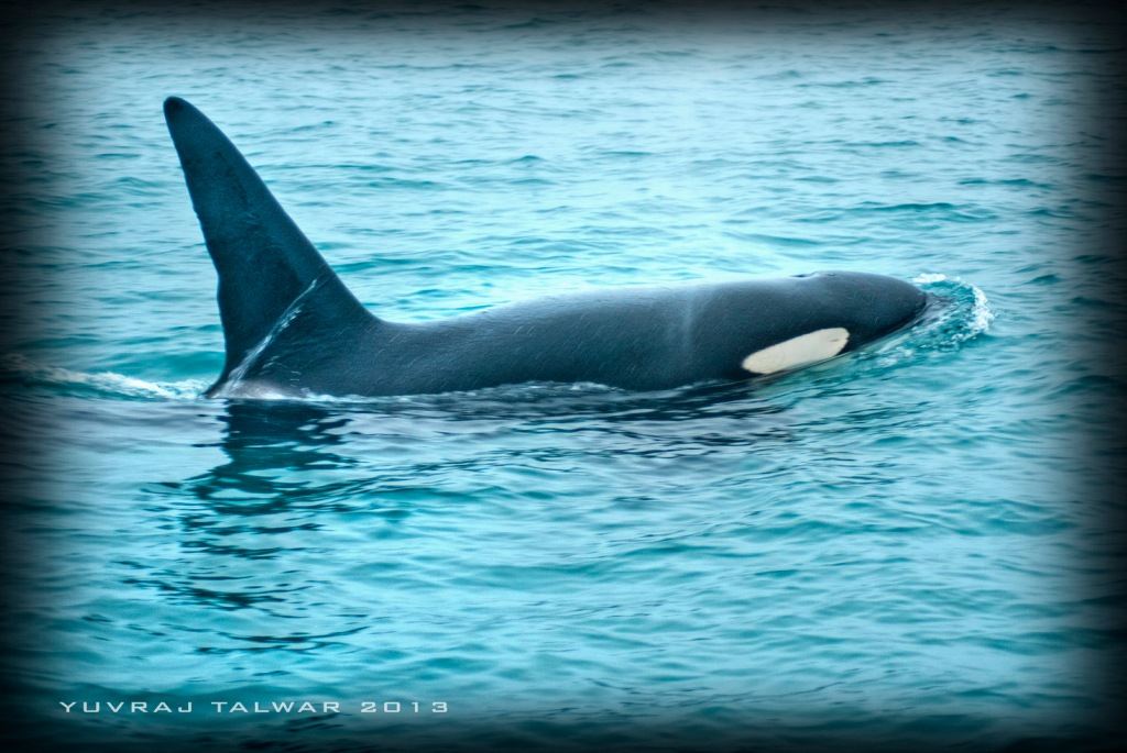 Little John - the friendly Orca. A regular sight here for the Dolphin Encounter group. Graceful and Unperturbed