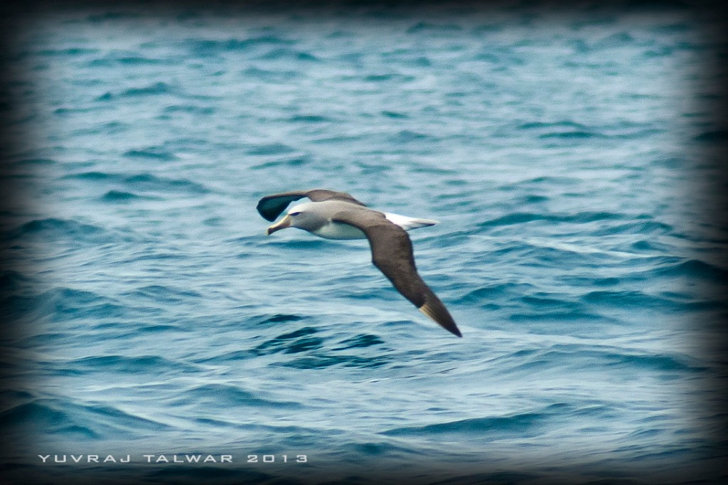 This lone albatross was peacefully skimming across the water. They flap their wings on average of once every FOUR days.