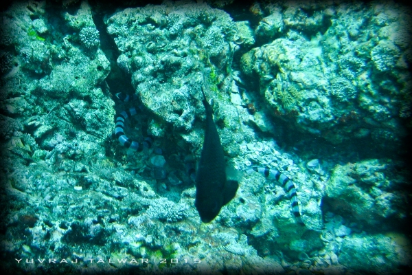 ...along with a banded sea snake